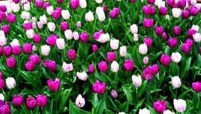 Pink and purple tulip flowers field Stock Photos