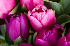 Pink  and purple  tulip flowers. Fresh pink  and purple tulip flowers  close up Royalty Free Stock Photography