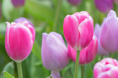 Pink and purple tulip flowers. Pink and purple tulip flowers, selective focus Royalty Free Stock Image