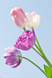 Pink and purple tulips Royalty Free Stock Image