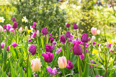 Pink and purple tulips background. Stock Photos