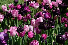 Pink and purple tulips Stock Photography