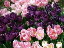 Pink and Purple Tulips Stock Image