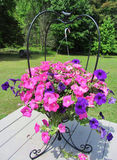 Pink and Purple Wave Petunia in Iron Hanger. These are purple and pink wave petunia hanging in a black iron planter Royalty Free Stock Images
