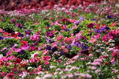 Pink, Purple, and White Impatiens Plant Field Royalty Free Stock Images