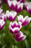 Pink purple with white tulips field Royalty Free Stock Photo