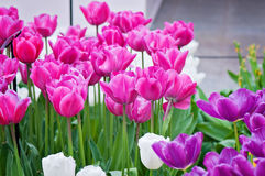 Pink, purple and white tulips on the flowerbed Stock Photo