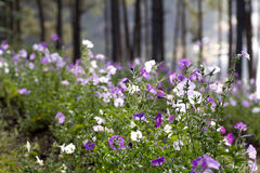 Pink purple and white wide flower countryside scenery Stock Image