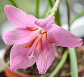 Pink-purple Zephyranthes flower Royalty Free Stock Photos