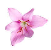 Pink-purple Zephyranthes flower, close up. Royalty Free Stock Images