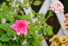 Pink pygmy rose in garden home. Pink pygmy rose in the garden home Royalty Free Stock Photo