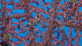 Pink Pygmy seahorse. On gorgonian coral stock video