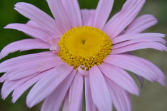Pink pyrethrum hybridum. Stock Photos