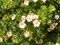 Pink Queen, Potentilla fruticosa. Flowers of Kuril tea. Royalty Free Stock Image
