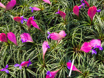 Pink Quill (Tillandsia cyanea) flowers Stock Photography