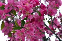 Pink quince flowers in spring royalty free stock photos