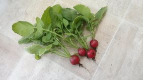 Pink radish grown on the balcony royalty free stock photography