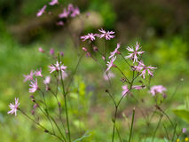 Pink Ragged robin flowering in landscape Stock Image