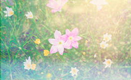 Pink rain lilly blossom flower with sunflare Royalty Free Stock Image