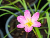 Pink Rain Lily Blooming Royalty Free Stock Photos