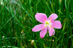 Pink rain lily flower Royalty Free Stock Photography