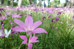Pink Rain Lily Flower Blooming Through the Field Stock Photos