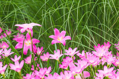 Pink rain lily flower Royalty Free Stock Images