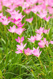 Pink rain lily flower Royalty Free Stock Photos