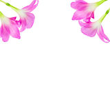 Pink Rain lily flower on white background Royalty Free Stock Image