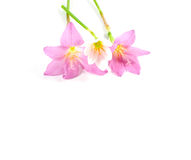 The pink Rain lily flower on white background, isolated Stock Image