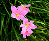 Pink rain lily  /  pink rain lily are joyfully unveiled Stock Photo