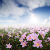 Pink Rain Lily and Sun Sky in morning day Royalty Free Stock Photography