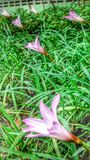 Pink rain lily Stock Images