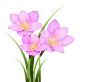 Pink rain lily (Zephyranthes rosea) flower isolated Royalty Free Stock Photography