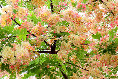 Pink or Rainbow shower tree (Cassia javanica) . Pink or Rainbow shower tree (Cassia javanica) on white background Royalty Free Stock Photography
