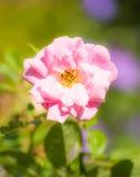 Pink rambler rose blossom Royalty Free Stock Photo