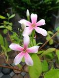 Pink rangoon creeper flowers. Closeup of two pink rangoon creeper flowers with garden background Stock Photos