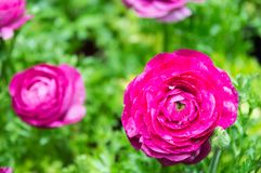 Pink Ranuncul Beautiful bloom in graden royalty free stock image