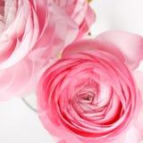 Pink Ranunculus Stock Image