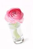 Pink Ranunculus Royalty Free Stock Images