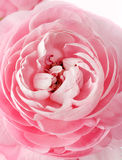 Pink Ranunculus stock photography
