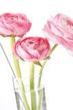 Pink Ranunculus Stock Photography
