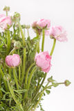 Pink Ranunculus Royalty Free Stock Photography