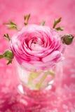 Pink ranunculus. Beautiful pink ranunculus in a vase Stock Photography