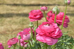 Pink Ranunculus. Bright pink double Ranunculus flowers and buds growing in a garden Royalty Free Stock Images