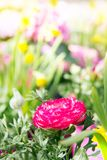 Pink Ranunculus buttercup flower in the garden, surrounded by ye Royalty Free Stock Images