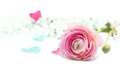 Pink ranunculus buttercup on white background with blue hearts Royalty Free Stock Images