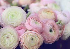 Pink ranunculus flovers bouquet. Selective focus image , soft colors Royalty Free Stock Photo