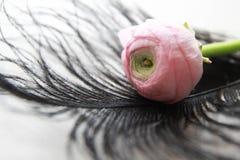 Pink ranunculus flower Stock Photos