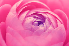 Pink ranunculus flower Stock Image